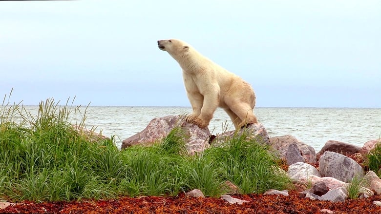 Watch Polar Bears: Ice Bear free