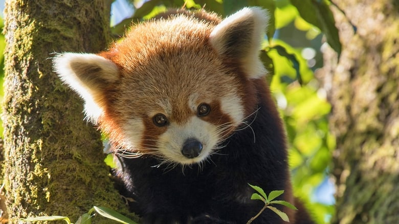Nézd Red Panda: World's Cutest Animal Magyarul Szinkronizálva