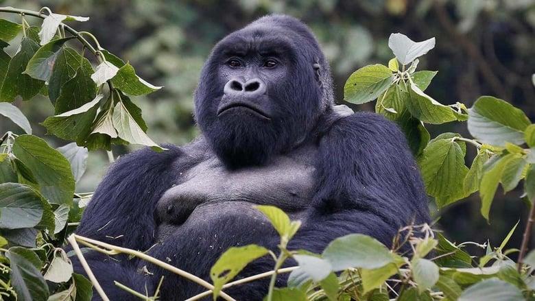 Watch Mountain Gorilla Putlocker Movies