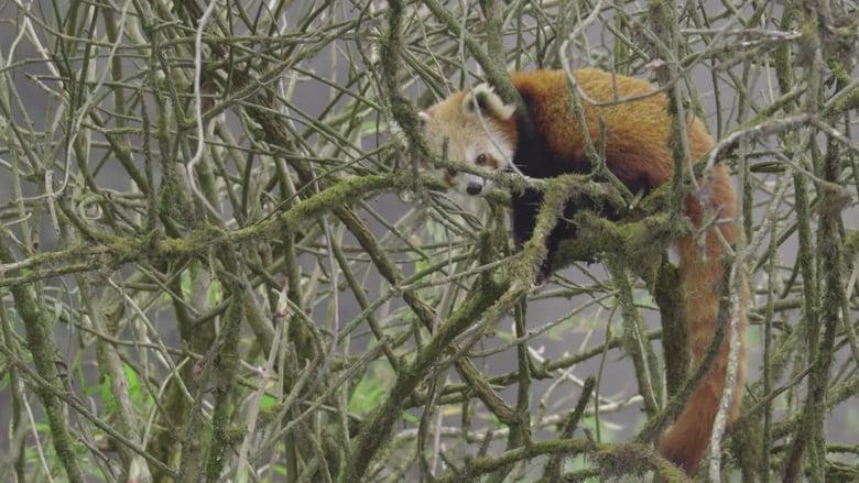 Watch Red Panda: World's Cutest Animal 1337 X movies