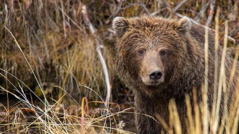 فيلم Yukon's Wild Grizzlies 2021 مترجم