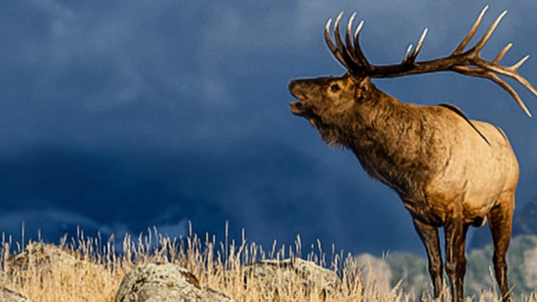 The+Olympic+Elk