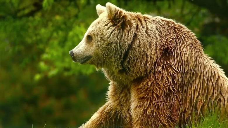 Watch Unedited Footage of a Bear free